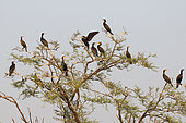 Great Cormorant (Phalacrocorax carbo) perching in the marshes of Keoladeo NP, North West India