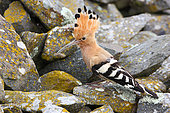 Hoopoe (Upupa epops) adult on a rock with a caterpillar feeding its young in a scree, South France