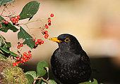 Blackbird (Turdus merula) adult male eating cottonwood berries, Finistère, France