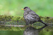 Blackbird (Turdus merula) adult male bathing at a pond, Finistère, France