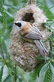 Rémiz penduline (Remiz pendulinus) femelle accroché à son nid suspendu, delta du Danube, Roumanie