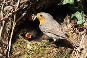 European Robin (Erithacus rubecula) adult arriving at the nest with a beak full of insects, Finistère, France
