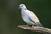 European Turtle Dove (Streptopelia turtur) on a branch, Finistere, France