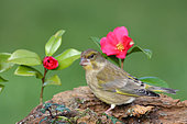 European Greenfinch (Carduelis chloris) Adult female foraging for seeds near a flowering camellia, Finistère, France