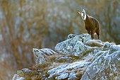 Chamois des Alpes (Rupicapra rupicapra) bêlant sur rochers, Slovaquie