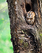 Brown owl (Strix aluco) in a tree hollow, Slovakia