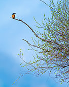 Kingfisher (Alcedo atthis) on a branch, Slovakia