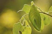 Apatura iris (Apatura iris), caterpillar, Goat willow (Salix caprea), Rhineland-Palatinate, Germany, Europe
