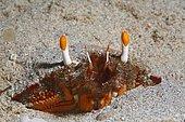 Crabe-grenouille (Ranina ranina) enterré dans le sable, Sabang Beach, Mindoro, Philippines