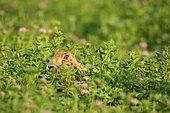 Lièvre d'Europe (Lupus europaeus) dans un champ de trèfle rouge (Trifolium pratense) Wachau, Basse Autriche, Autriche