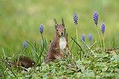 Squirrel (Sciurus vulgaris) in meadow in front of grape hyacinths, Germany, Europe
