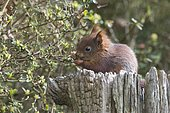 Young squirrel (Sciurus vulgaris) on tree trunk, Emsland, Lower Saxony, Germany, Europe