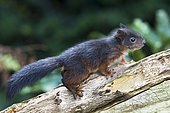 Young Eurasian red squirrel (Sciurus vulgaris), sitting on a tree stump, Emsland, Lower Saxony, Germany, Europe
