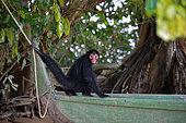 Jeune singe atèle ou singe araignée noir (Ateles paniscus) sur une pirogue, tenant une corde avec sa queue en Guyane Française