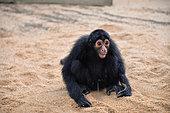 Jeune singe atèle ou singe araignée noir (Ateles paniscus) urinant dans le sable en Guyane Française