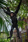 Jeune singe atèle ou singe araignée noir suspendu à une branche près d'une habitation en Guyane Française (Ateles paniscus)