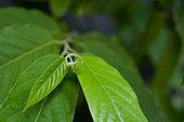 Jeunes feuilles d'Ylang Ylang (Cananga odorata), Guyane Française