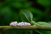 Treehopper (Membracis foliatafasciata) larvae on Ylang Ylang (Cananga odorata), French Guyana