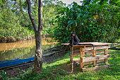 Singe atèle ou singe araignée noir (Ateles paniscus) détenu illégalement assis sur un abri de fortune attaché par une corde à un arbre en Guyane Française