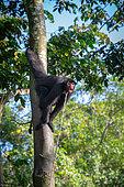 Singe atèle ou singe araignée noir vocalisant accroché à un tronc et attaché au cou par une corde en Guyane Française (Ateles paniscus)
