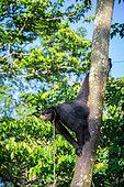 Singe atèle ou singe araignée noir (Ateles paniscus) accroché à un tronc et attaché au cou par une corde en Guyane Française