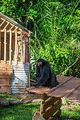 Singe atèle ou singe araignée noir (Ateles paniscus) détenu illégalement assis sur un abri de fortune attaché par une corde en Guyane Française