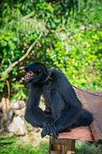 Singe atèle ou singe araignée noir (Ateles paniscus) détenu illégalement assis sur une tôle et attaché au cou par une corde en Guyane Française