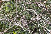 Long eared Owl (Asio otus) sleeping on a branch, Alsace, France