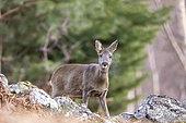 Roe deer (Capreolus capreolus) female breathing vapor, Alsace, France