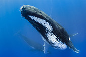 Humpback whale (Megaptera novaeangliae) and calf in blue, Tahiti, French Polynesia