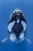 Humpback whale (Megaptera novaeangliae) in blue, Tahiti, French Polynesia