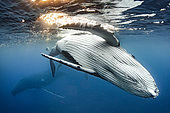 Humpback whale (Megaptera novaeangliae), below the surface, Rurutu, French Polynesia