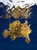 Sargassumfish (Histrio histrio) drifting off Tahiti, French Polynesia.