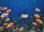 Tiger shark (Galeocerdo cuvier) and Humpback red snapper (Lutjanus gibbus), Tahiti, French polynesia