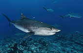 Tiger shark (Galeocerdo cuvier) above the reef, Tahiti, French polynesia