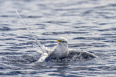 White-tailed Tropicbird (Phaethon lepturus) cleaning its plumage in the water, Tahiti, French Polynesia