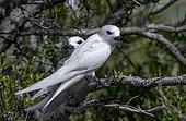 Common white-tern (Gygis alba) on a branch, Fakarava, Tuamotu, French Polynesia