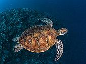 Green turtle (Chelonia mydas) swimming above the reef, Tahiti, French Polynesia