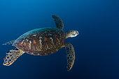 Green turtle (Chelonia mydas) in blue, Tahiti, French Polynesia
