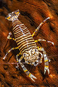 Bumblebee shrimp (Gnathophyllum americanum) on Leopard sea cucumber (Bohadschia argus), Tahiti, French Polynesia