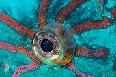Stareyed Parrotfish (Calotomus carolinus) eye, Tahiti, French Polynesia