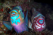 Filament-finned Parrotfish (Scarus altipinnis) pair at night on a reef, Tahiti, French Polynesia