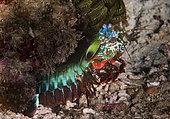 Peacock mantis shrimp (Odontodactylus scyllarus) on reef, Komodo Marine Park, Indonesia