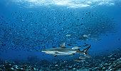 Grey reef shark (Carcharhinus amblyrhynchos) and Bigeye trevally (Caranx sexfasciatus), Tahiti, French Polynesia