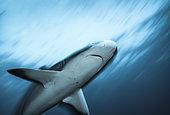 Grey reef shark (Carcharhinus amblyrhynchos) portrait, Tahiti, French Polynesia