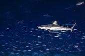 Grey reef shark (Carcharhinus amblyrhynchos) and Mackerel scad (Decapterus macarellus), Fakarava, French Polyneisa