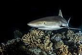Grey reef shark (Carcharhinus amblyrhynchos) on reef, Fakarava, French Polyneisa