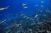 Grey reef shark (Carcharhinus amblyrhynchos) schoal, Fakarava, French Polyneisa