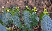 Caféier des hautes terres (Coffea stenophylla), Afrique de l'Ouest