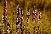 Salicaire commune (Lythrum salicaria) fleurs, Guidel, Morbihan, Bretagne, France